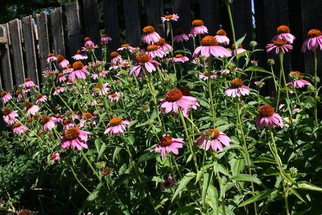 Preguntas - poema. Photo: Echinaceas en mi jardín. biteslife.com