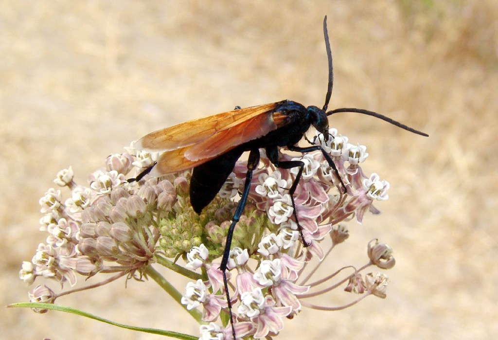 From the inside out. Tarantula hawk.